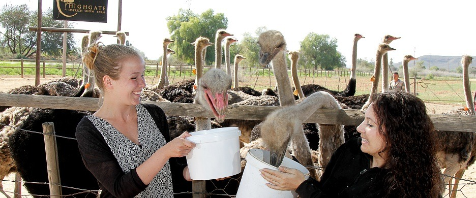 Ostrich facts Oudtshoorn garden route