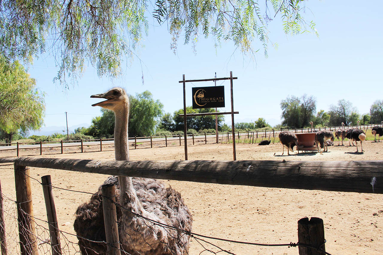 Ostrich-farm-tours-highgate7