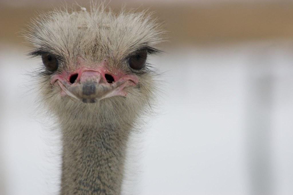 Snow Ostrich